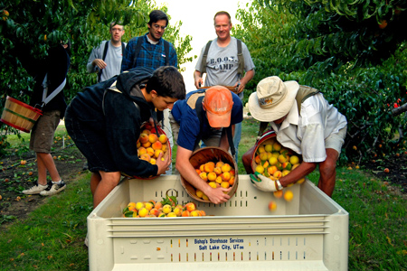 Volunteers pick peaches at north ogden peach orchard